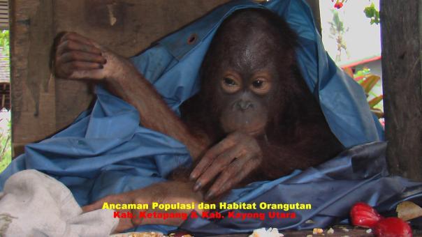 ancaman orangutan akibat habitatnya berupa hutan terus terampas. foto dok. Yayasan Palung, tahun 2008