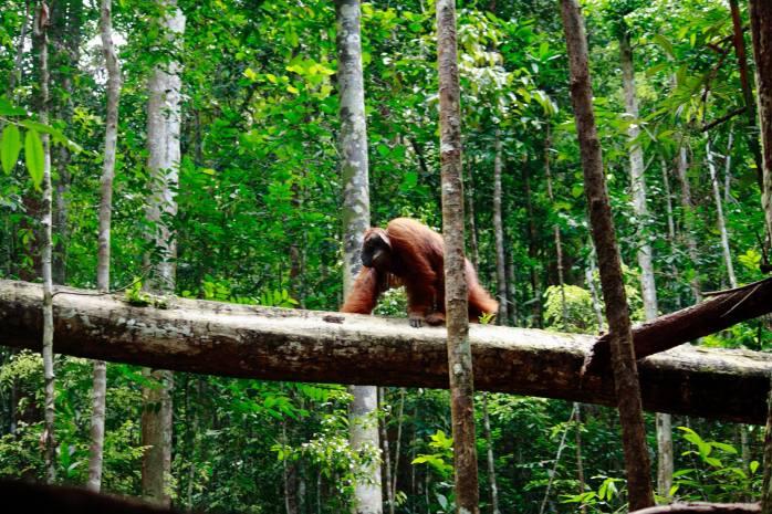 Orangutan ini bernama Codet, dia  seperti raja di Gunung Palung, Codet tidak takut untuk turun dari pohon. Foto dok. Robert R Suro, Yayasan Palung.