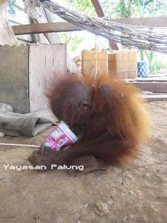 Orangutan yg dipelihara_seharusnya mereka hidup bebas dihutan