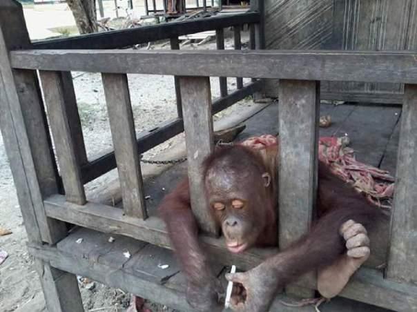 pelanggaran, orangutan merokok_foto budi K3