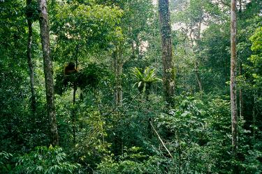 Salah satu individu orangutan yang hidup di Taman Nasional Gunung Palung. Foto dok. Tim Laman_1