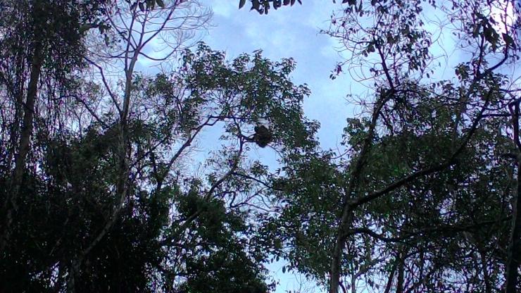 Orangutan yang berada di sisa-sisa habitatnya di Desa Sungai besar. Foto dok. Yayasan Palung