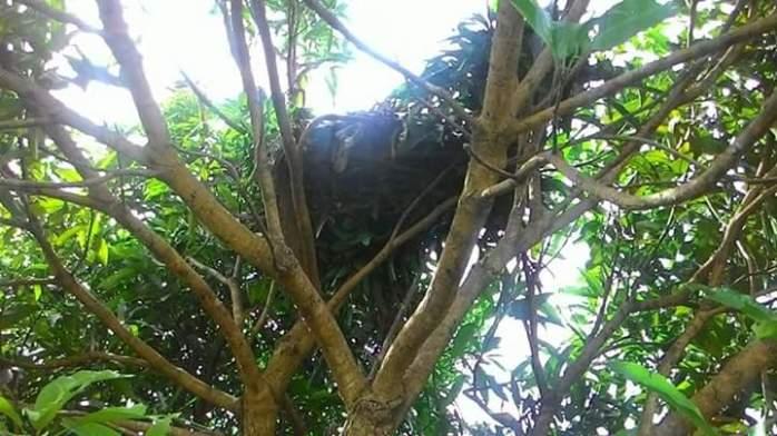 Salah satu sarang orangutan yang ada lahan pertanian masyarakat di Sungai Besar.Foto dok. Yayasan Palung