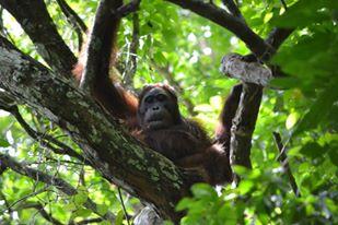 Orangutan baru, bernama Ned_ Foto dok. Kat Sccott