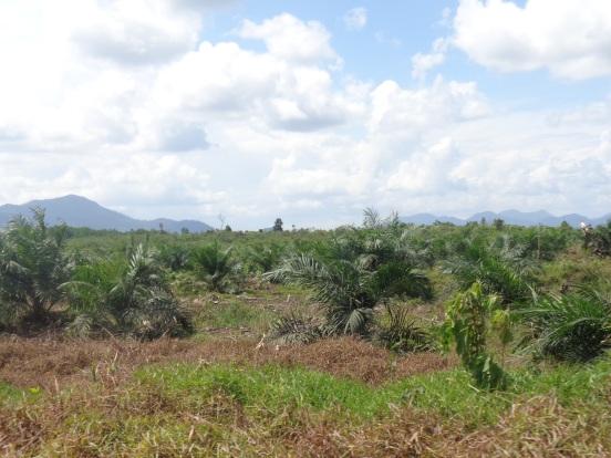 Perkebunan menjadi salah satu ancaman yang menakutkan terkait keberlanjutan hutan dan lingkungan sekitar saat ini. foto dok. YP
