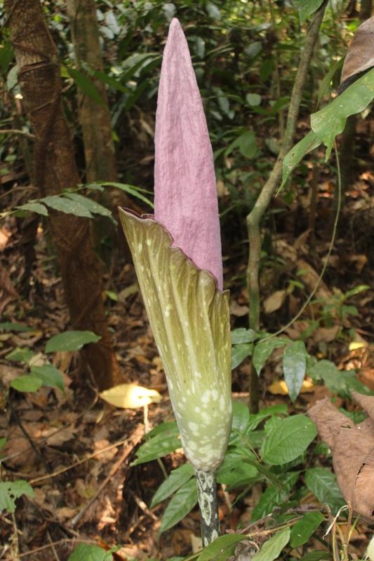 tumbuhan sejenis Amorphophallus titanum
