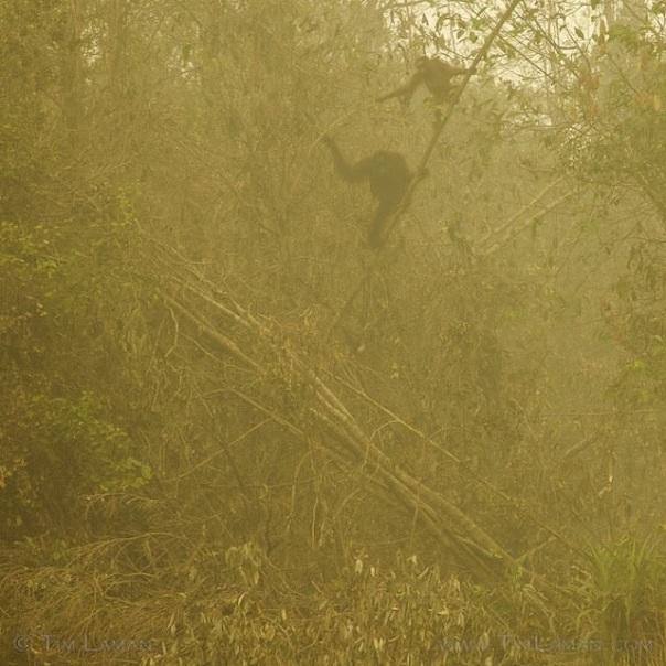 Kabut asap yang melanda di Tanah Borneo berdampak juga pada satwa terlebih orangutan. foto Tim Laman