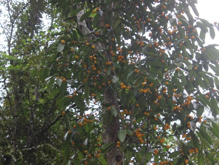 Aporosa nitida (Belian air)