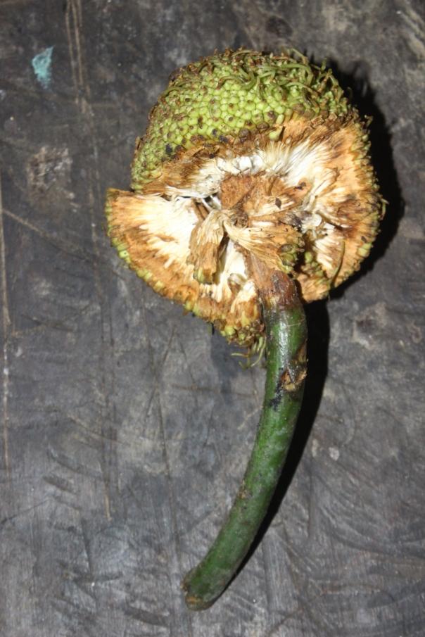 Artocarpus elasticus (terap)