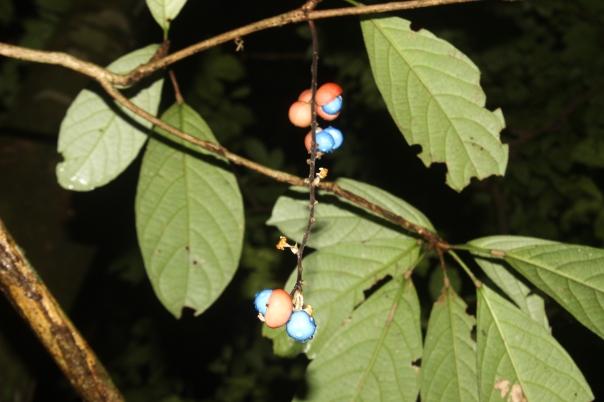 Baccaurea dulcis (rambai hutan)