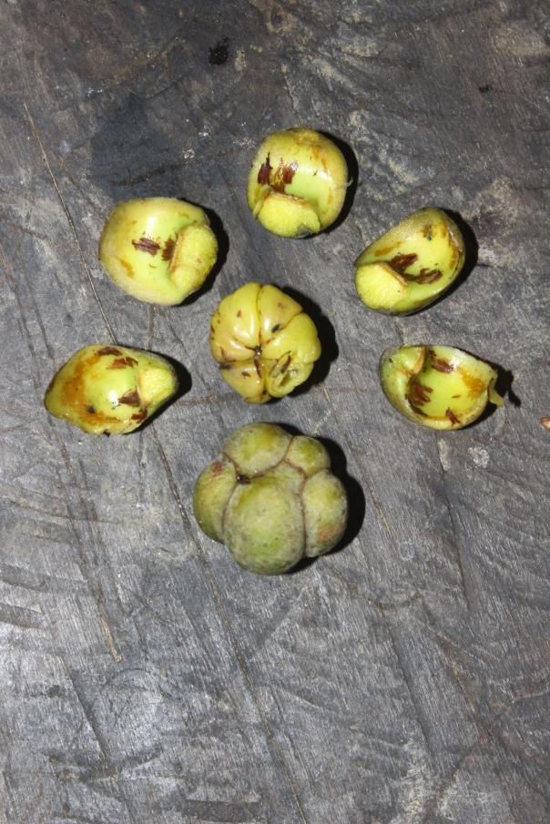Dillenia borneensis (Simpur Laki)