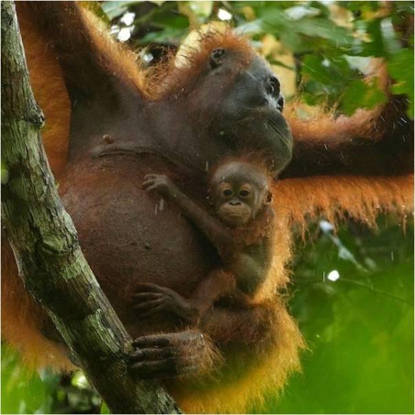 orangutan-dan-bayinya-di-tngp-foto-dok-yayasan-palung-dan-tim-laman-5698bdcf149373dc04b4bd31