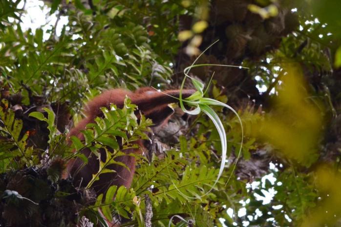 Orangutan bernama Dewi, di Cabang Panti, TNGP saat memakan juicy bagian dari lembar pandan ini. Disebut  fallback foods, Termasuk epiphytes seperti pandan. Foto dok. Yayasan Palung dan GPOCP.