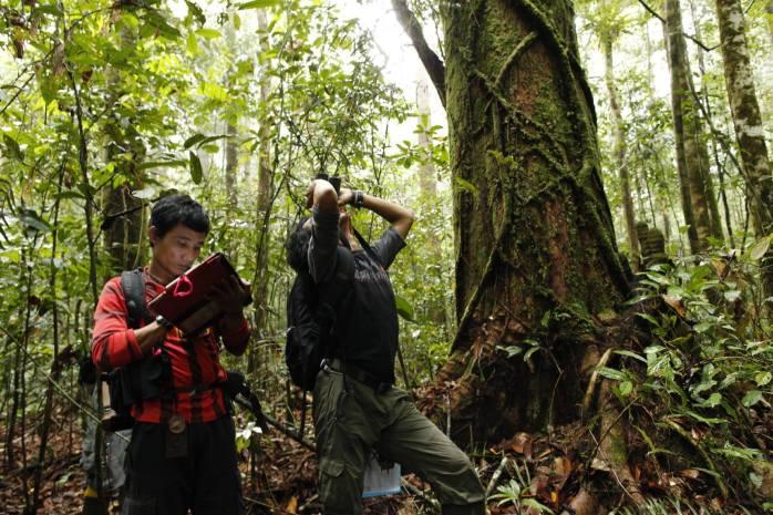Selama 23 tahun, peneliti dari GPOCP telah menghabiskan lebih dari 70,000 jam belajar dan orangutan liar. Foto dok. Yayasan Palung dan GPOCP.