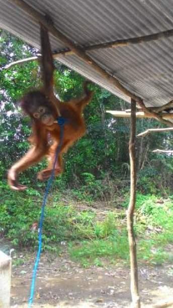 Anak orangutan yang dipelihara oleh masyarakat di Kec. Manis Mata, Ketapang. Foto YP