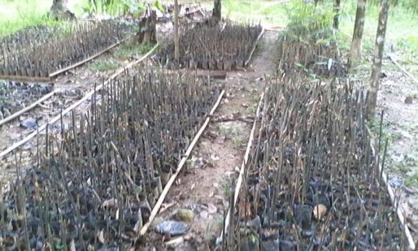 Bibit bambu milik Yohanes Terang. Foto dok. YP