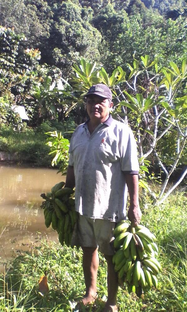 Pak Yohanes Terang saat memanen Pisang di kebun miliknya. Foto dok. YP