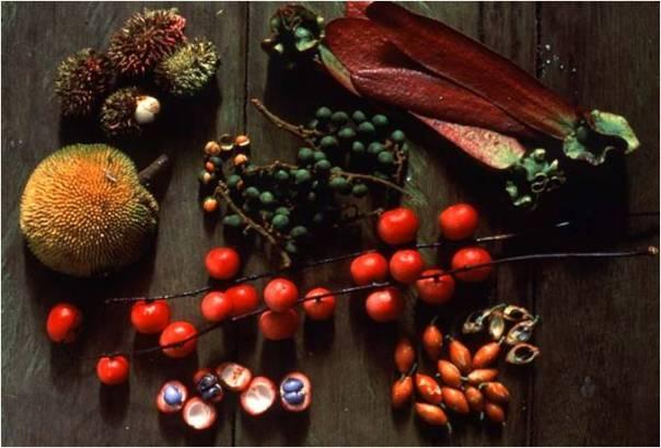 Buah-buahan hutan termasuk sumber makanan utama (pakan) orangutan. foto dok. Tim Laman dan Yayasan Palung