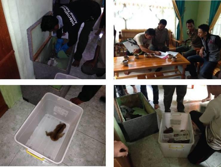 Kukang saat diselamatkan oleh  YIARI dan BKSDA SKW 1 Ketapang di kantor Yayasan Palung. Foto. dok. YP