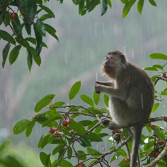 Monyet memiliki ekor yang cukup panjang. Foto dok. Tim Laman dan Yayasan Palung