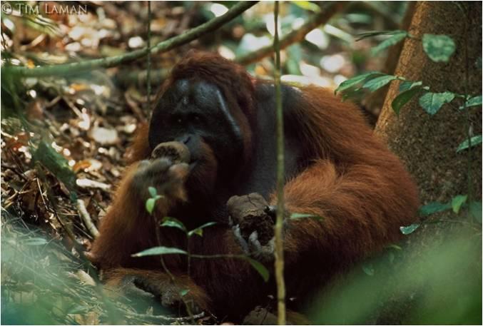 Rayap dan serangga termasuk makanan orangutan. Foto dok. Tim Laman dan Yayasan Palung