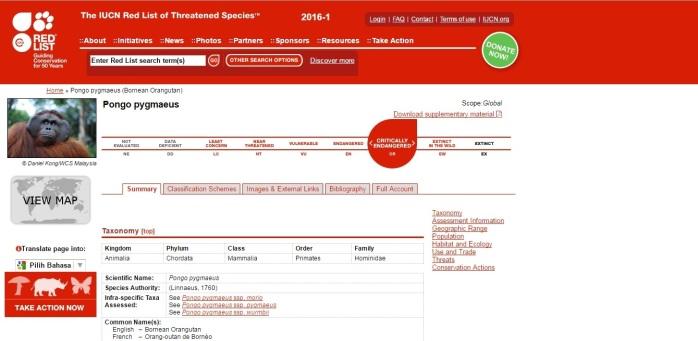 Status Orangutan Kalimantan masuk Daftar merah