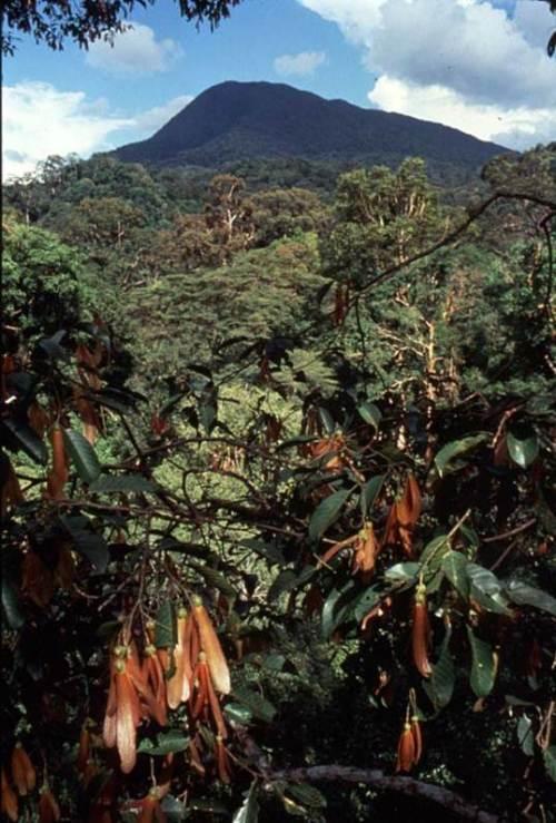 meranti-atau-shorea-sp-yang-sedang-berbuah-merupakan-jenis-pohon-dipterocarpaceae-foto-dok-yayasan-palung-gpocp-dan-tim-laman