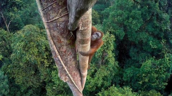 orangutan-yang-memanjat-pohon-di-hutan-hujan-gunung-palung-foto-inilah-yang-menghantarkan-tim-laman-sebagai-pemenang-dok-tim-laman