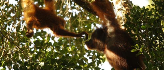 induk-dan-bayi-orangutan-di-gunung-palung-sedang-bercengkrama-foto-dok-tim-laman-dan-yayasan-palung