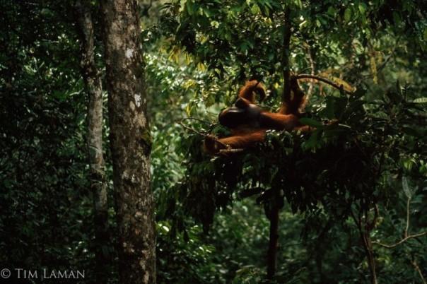 orangutan-di-tipe-sarang-a-saat-beristirahat-di-hutan-hujan-gunung-palung-foto-dok-tim-laman-dan-yayasan-palung