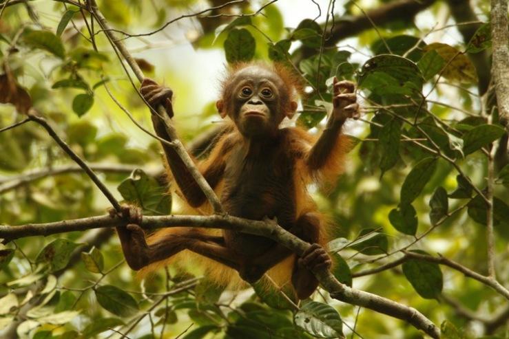 Orangutan remaja yang mendiami hutan hujan di Gunung Palung. Foto dok. Tim Laman dan Yayasan Palung.JPG