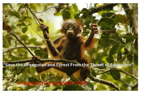 orangutan-caring-week-2016