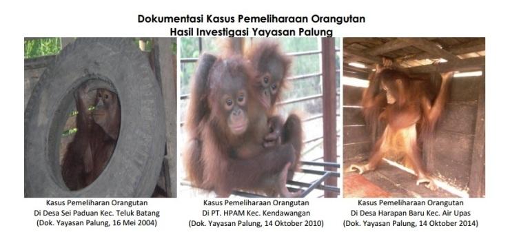 dokumentasi-kasus-pemeliharaan-orangutan-foto-dok-yayasan-palung