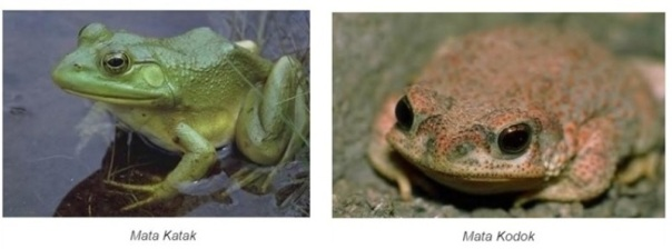 katak-dan-kodok-foto-capture-dari-info-hewan-pinterest