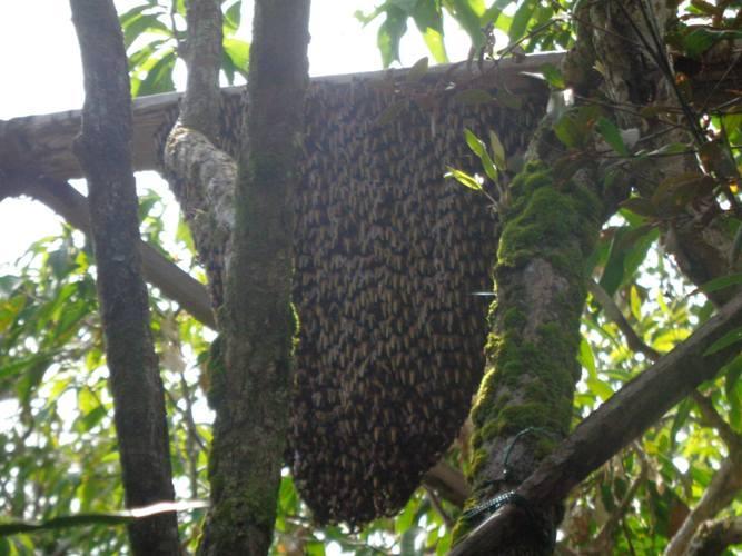 Lebah yang bersarang di tikung. Foto dok. Yayasan Palung
