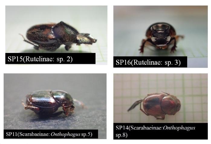 Beberapa foto dari jenis kumbang. Foto capture dari presentasi Cacih