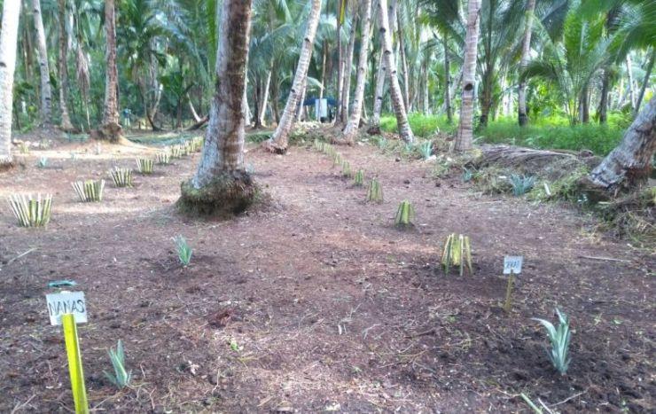 Tanaman sejenis (kelapa) telah berpadu dengan aneka tanaman semusim jenis lainnya. Foto dok. Yayasan Palung.jpeg