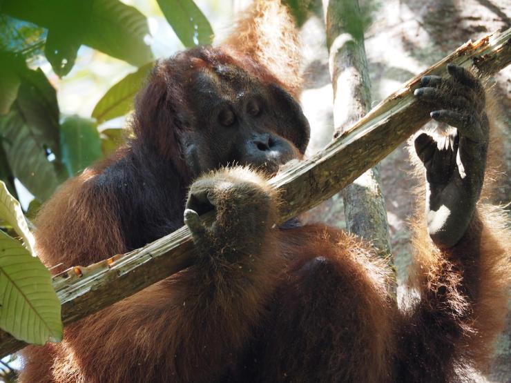 Orangutan yang mendiami hutan Gunung Palung. Foto dok. Brodie Philp, Yayasan Palung