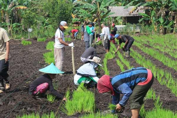 Penananam padi oleh para petani di lokasi. Foto dok. Yayasan Palung