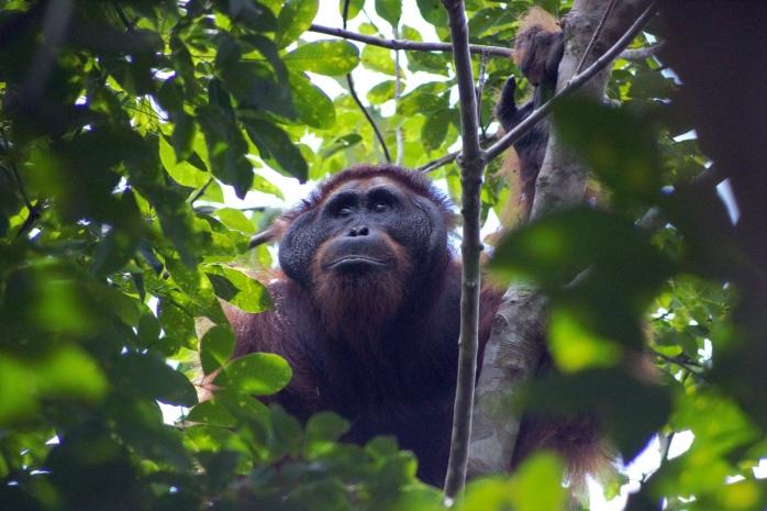 Orangutan yang keluar di habitatnya dan mendekati pemukiman masyarakat beberapa waktu lalu, Maret 2018. Foto dok. Yayasan Palung