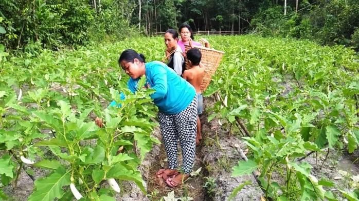 Petani Meteor Garden Pak Ishak Panen Terong . Foto dok. Yayasan Palung