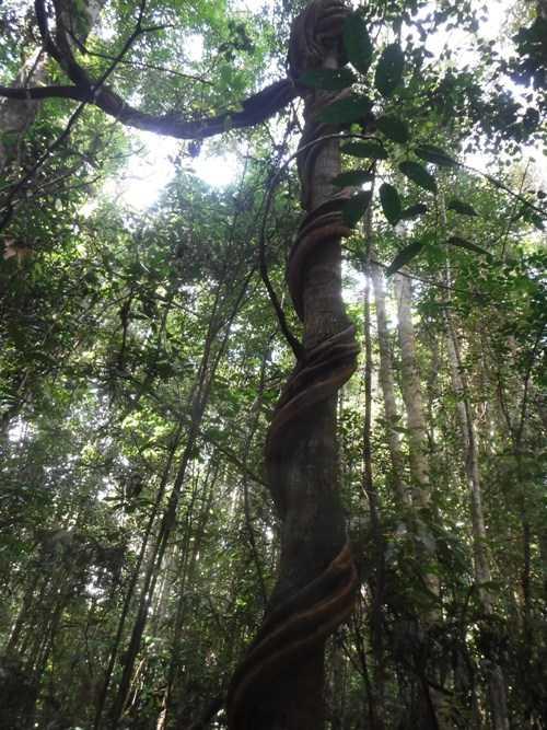 Tumbuhan Liana yang menumpang pada pohon. Foto dok. Syahik Nur Bani,YP