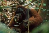 Orangutan merupakan kera besar yang hidupnya semi-soliter. Foto dok. Tim Laman